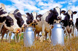 Новгородские власти отчитались в Минсельхоз о рекордных надоях молока